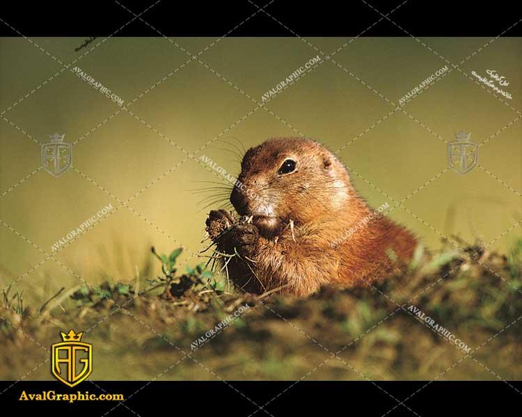عکس با کیفیت سنجاب و شاخه مناسب برای طراحی و چاپ - عکس سنجاب - تصویر سنجاب - شاتر استوک سنجاب - شاتراستوک سنجاب