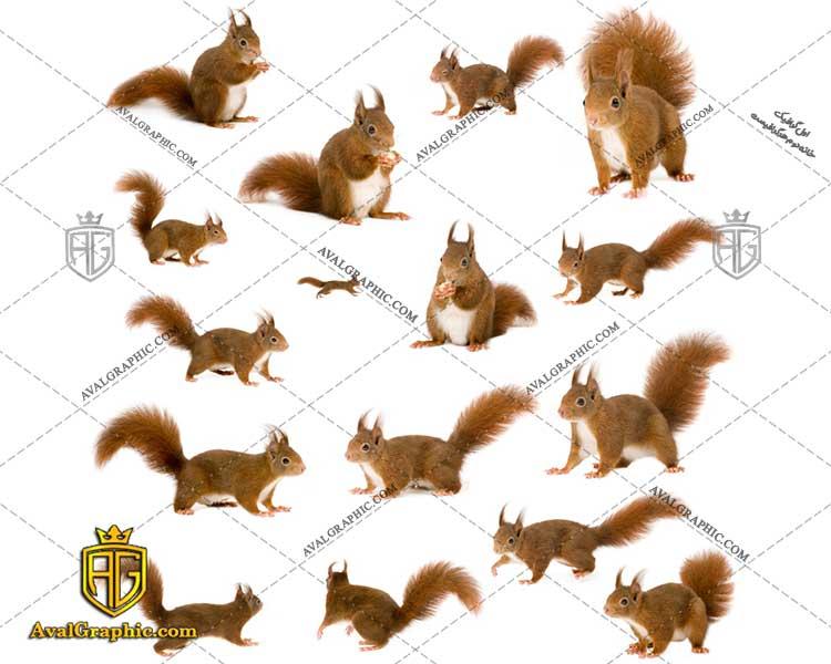 عکس با کیفیت سنجاب ها مناسب برای طراحی و چاپ - عکس سنجاب - تصویر سنجاب - شاتر استوک سنجاب - شاتراستوک سنجاب
