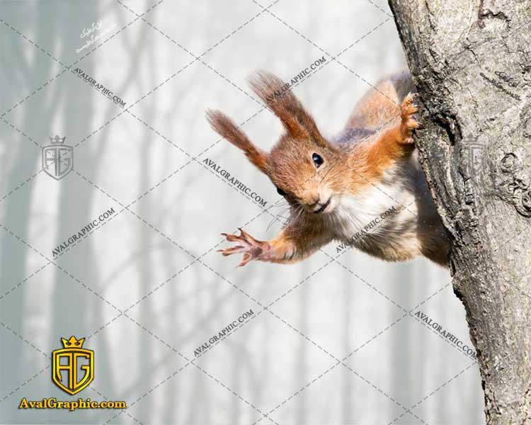 عکس با کیفیت سنجاب گوش دراز مناسب برای طراحی و چاپ - عکس سنجاب - تصویر سنجاب - شاتر استوک سنجاب - شاتراستوک سنجاب