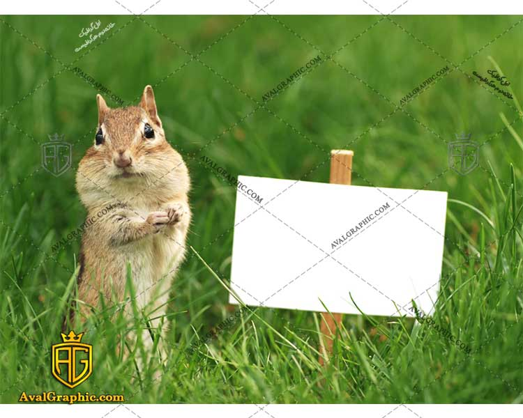 عکس با کیفیت سنجاب زیبا مناسب برای طراحی و چاپ - عکس سنجاب - تصویر سنجاب - شاتر استوک سنجاب - شاتراستوک سنجاب