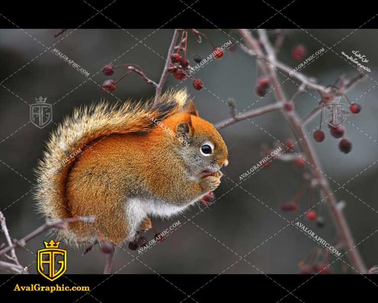 عکس با کیفیت سنجاب خوش رنگ مناسب برای طراحی و چاپ - عکس سنجاب - تصویر سنجاب - شاتر استوک سنجاب - شاتراستوک سنجاب