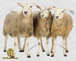 png گوسفند گوشتی , پی ان جی گوسفند , دوربری گوسفند , عکس گوسفند با زمینه شفاف, گوسفند با فرمت png