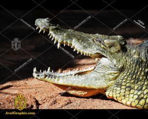 عکس دهان تمساح رایگان مناسب برای چاپ و طراحی با رزو 300 - شاتر استوک تمساح - عکس با کیفیت تمساح - تصویر تمساح - شاتراستوک تمساح