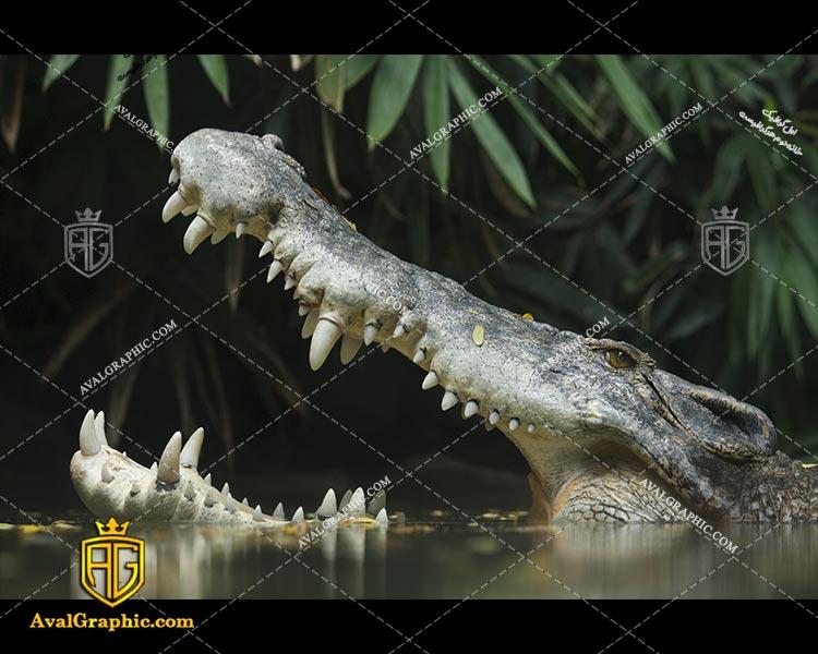 عکس دندان های تمساح رایگان مناسب برای چاپ و طراحی با رزو 300 - شاتر استوک تمساح - عکس با کیفیت تمساح - تصویر تمساح - شاتراستوک تمساح