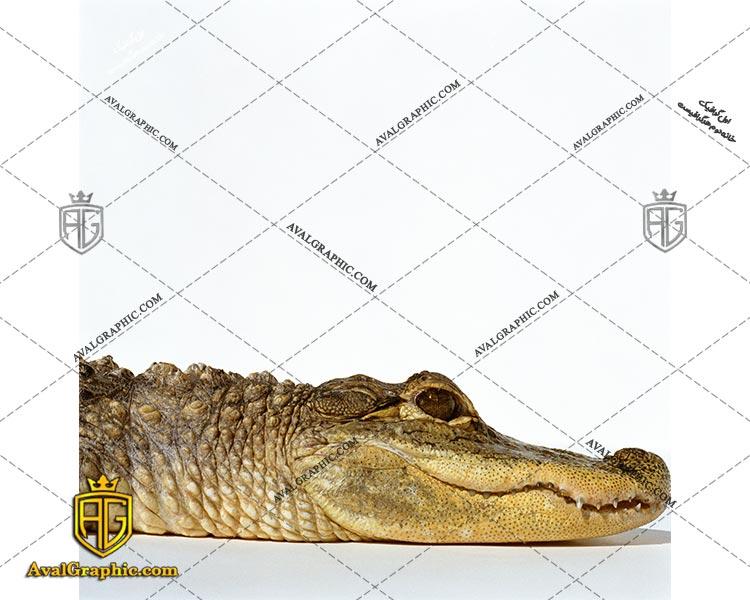 عکس با کیفیت سر کروکدیل مناسب برای طراحی و چاپ - عکس کروکدیل - تصویر کروکدیل - شاتر استوک کروکدیل - شاتراستوک کروکدیل