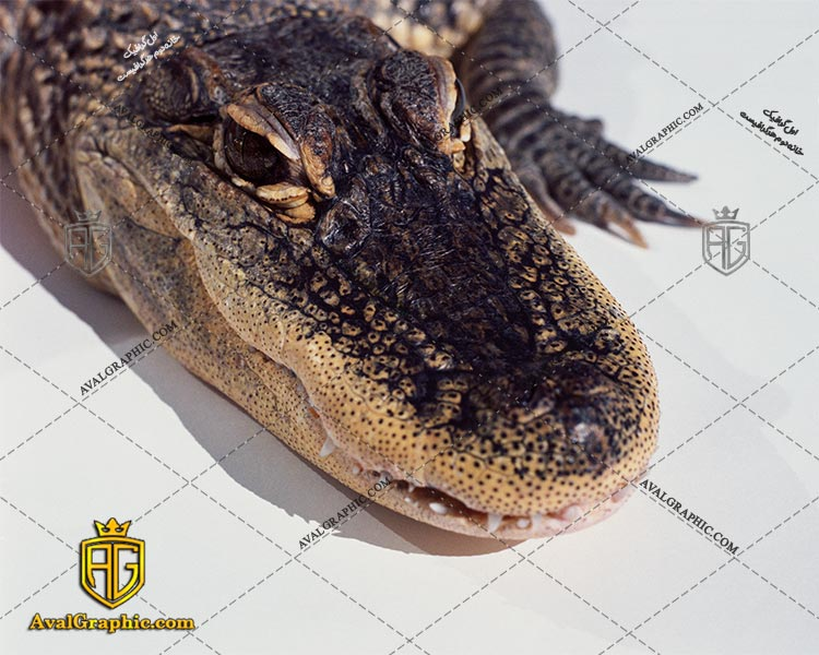 عکس با کیفیت سر تمساح مناسب برای طراحی و چاپ - عکس تمساح - تصویر تمساح - شاتر استوک تمساح - شاتراستوک تمساح