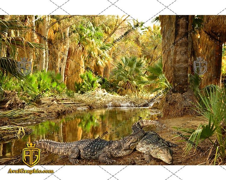 عکس با کیفیت برکه تمساح ها مناسب برای طراحی و چاپ - عکس تمساح - تصویر تمساح - شاتر استوک تمساح - شاتراستوک تمساح