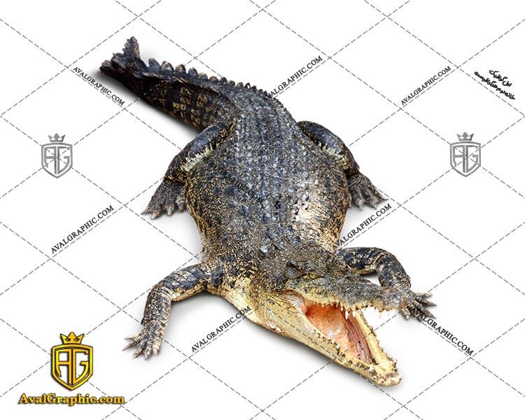 عکس با کیفیت کروکدیل سیاه مناسب برای طراحی و چاپ - عکس کروکدیل - تصویر کروکدیل - شاتر استوک کروکدیل - شاتراستوک کروکدیل