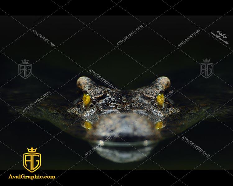 عکس با کیفیت کروکدیل ترسناک مناسب برای طراحی و چاپ - عکس کروکدیل - تصویر کروکدیل - شاتر استوک کروکدیل - شاتراستوک کروکدیل