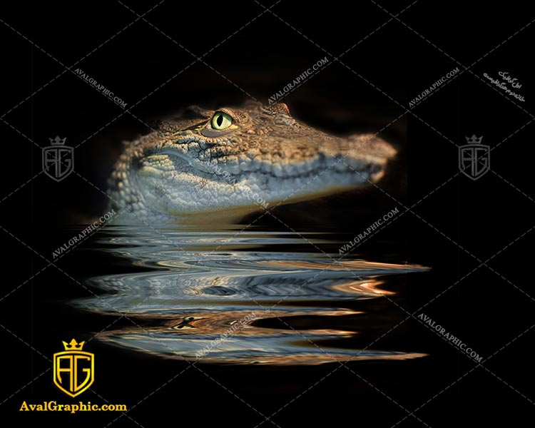 عکس با کیفیت کروکدیل زیبا مناسب برای طراحی و چاپ - عکس کروکدیل - تصویر کروکدیل - شاتر استوک کروکدیل - شاتراستوک کروکدیل