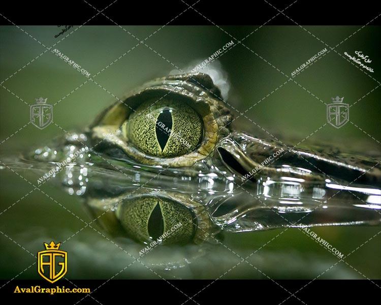 عکس چشم سبز تمساح رایگان مناسب برای چاپ و طراحی با رزو 300 - شاتر استوک تمساح - عکس با کیفیت تمساح - تصویر تمساح - شاتراستوک تمساح