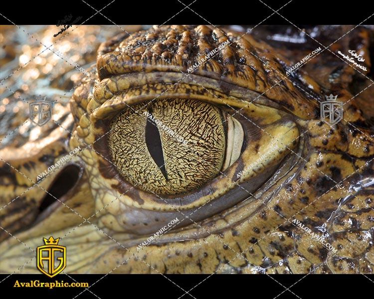 عکس تمساح قهوه ای رایگان مناسب برای چاپ و طراحی با رزو 300 - شاتر استوک تمساح - عکس با کیفیت تمساح - تصویر تمساح - شاتراستوک تمساح