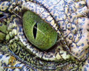 عکس چشم سبز کروکدیل رایگان مناسب برای چاپ و طراحی با رزو 300 - شاتر استوک کروکدیل - عکس با کیفیت کروکدیل - تصویر کروکدیل - شاتراستوک کروکدیل