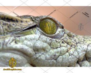 عکس تمساح چشم زرد رایگان مناسب برای چاپ و طراحی با رزو 300 - شاتر استوک تمساح - عکس با کیفیت تمساح - تصویر تمساح - شاتراستوک تمساح