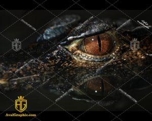 عکس تمساح چشم قهوه ای رایگان مناسب برای چاپ و طراحی با رزو 300 - شاتر استوک تمساح - عکس با کیفیت تمساح - تصویر تمساح - شاتراستوک تمساح