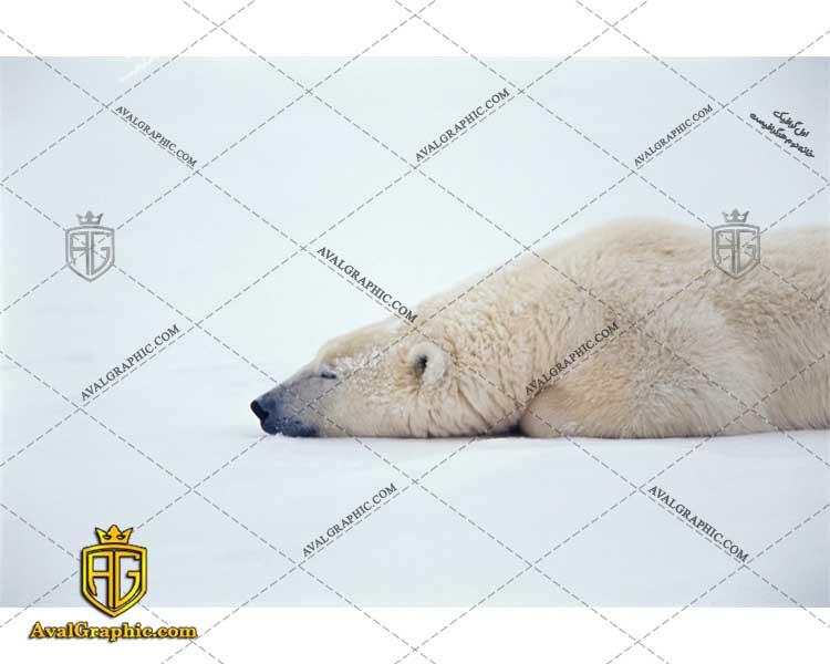 عکس با کیفیت خواب خرس قطبی مناسب برای طراحی و چاپ - عکس خرس قطبی- تصویر خرس قطبی- شاتر استوک خرس قطبی- شاتراستوک خرس قطبی