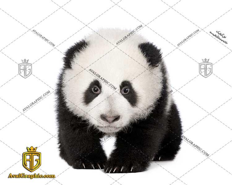 عکس با کیفیت پاندا مناسب برای طراحی و چاپ خرس پاندا است - عکس خرس - تصویر خرس - شاتر استوک خرس - شاتراستوک خرس