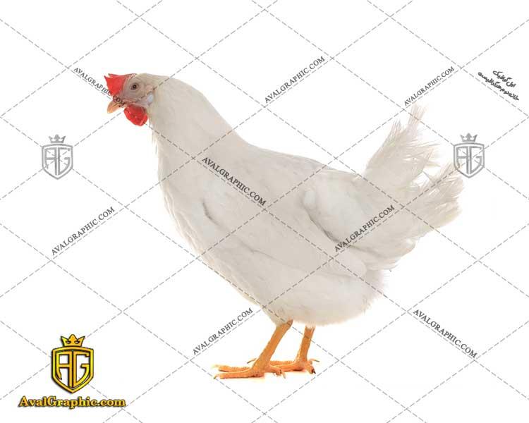عکس با کیفیت مرغ سفید