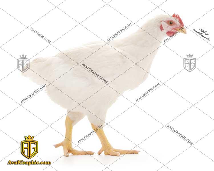 عکس با کیفیت مرغ تخم گذار مناسب برای طراحی و چاپ مرغ است - عکس مرغ - تصویر مرغ - شاتر استوک مرغ - شاتراستوک مرغ