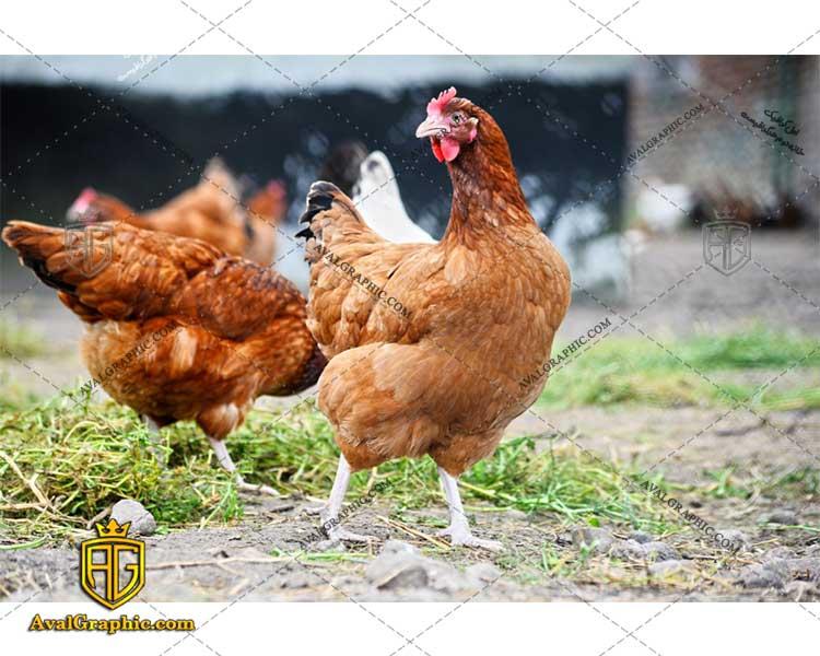 عکس با کیفیت مرغ زنده مناسب برای طراحی و چاپ مرغ است - عکس مرغ - تصویر مرغ - شاتر استوک مرغ - شاتراستوک مرغ