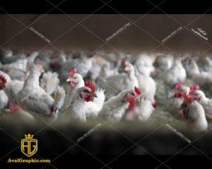 عکس با کیفیت مرغ های گوشتی مرغداری مناسب برای طراحی و چاپ مرغ است - عکس مرغ - تصویر مرغ - شاتر استوک مرغ - شاتراستوک مرغ