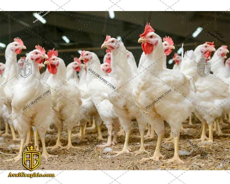 عکس با کیفیت سالن مرغداری مناسب برای طراحی و چاپ مرغ است - عکس مرغ - تصویر مرغ - شاتر استوک مرغ - شاتراستوک مرغ