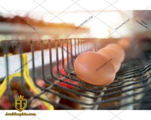 عکس با کیفیت تخم گذاری مرغ ها مناسب برای طراحی و چاپ مرغ است - عکس مرغ - تصویر مرغ - شاتر استوک مرغ - شاتراستوک مرغ