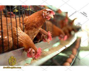 عکس با کیفیت تغذیه مرغ مناسب برای طراحی و چاپ مرغ است - عکس مرغ - تصویر مرغ - شاتر استوک مرغ - شاتراستوک مرغ
